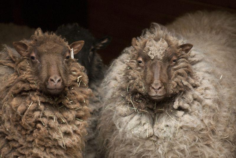 H_orig_shetland_sheep_gal